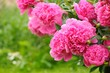 Blooming Peony Bush with Pink Flowers in the Garden