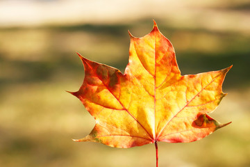 Autumn leaf - beauty in nature