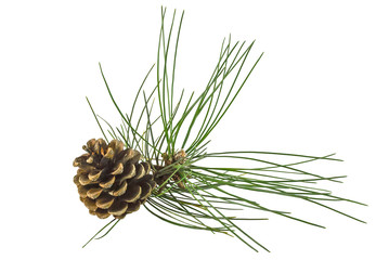 Pine branch with cone