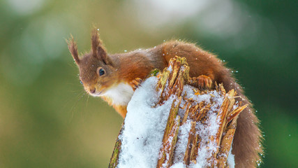 Red Squirrel perched on log