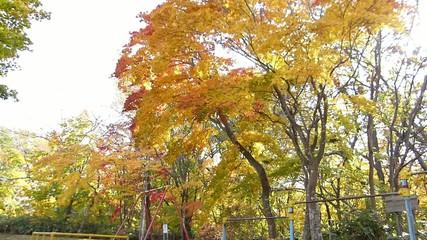 秋の風に揺れる紅葉_17