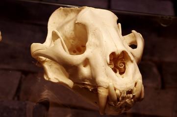 tiger Sumatran skull