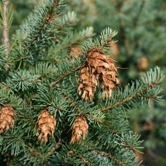 Pseudotsuga menziesii var. glauca - Douglas fir cone