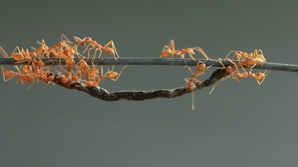 Group of red weaver ant carrying food, teamwork concept.