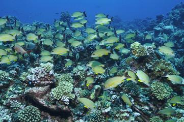 Fischschwarm am Korallenriff