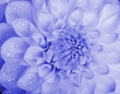 Blue toned dahlia with water drops. Close-up.