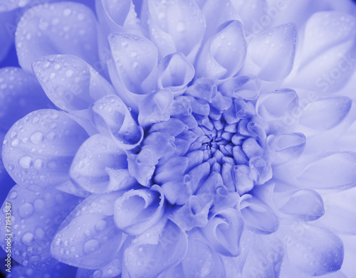 Foto Spatwand Dahlia Blue toned dahlia with water drops. Close-up.