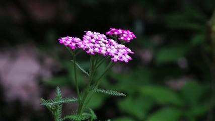 ノコギリソウの花
