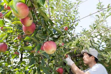 リンゴ農家