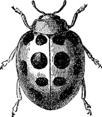 Vintage image insect ladybird
