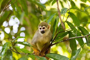 A black-capped squirrel monkey sitting on a tree