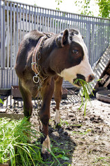 Young cow eats green grass