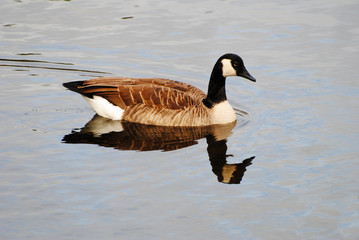 Perfect Canadian Goose Swimming with a Reflection in the Water