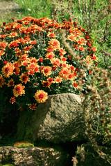 Chrysanthemum autumn flowers.