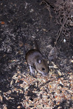 Wild mouse scavenging for food in its natural surrounding. poster