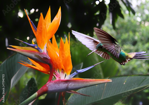 Flying Hummingbird at a Strelitzia flower - 71947113