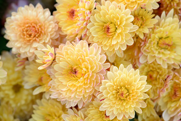 Chrysanthemum flowers close-up