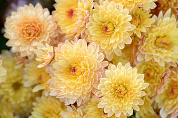 Chrysanthemum flowers close-up