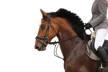 Beautiful sport horse portrait on white background