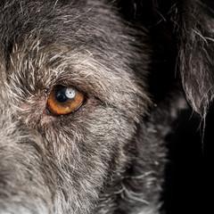 Close up Dog Half Face with Orange Eye