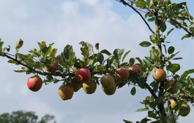 Apples Growing on a Wired Espalier Fruit Tree.