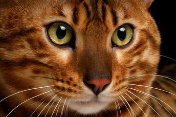 close-up Bengal cat