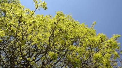 Maple deciduous tree leaf buds and blooms on blue sky in spring