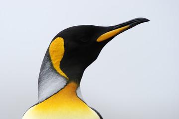 King Penguin (Aptenodytes patagonicus) portrait