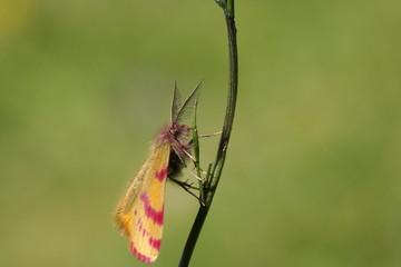 Ensanglanté de la garance (Lythria sanguinaria )