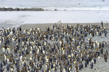 King Penguin (Aptenodytes patagonicus) colony on the beach