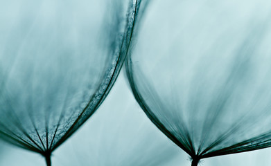 Abstract macro of plant seeds with water drops. Big dandelion