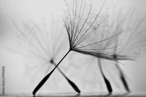 Wet dandelion on white, shiny surface with small droplets  - 71952126