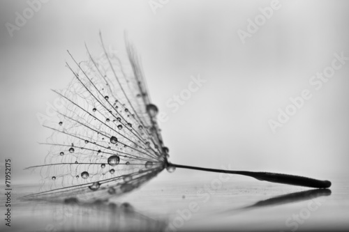 Wet dandelion on white, shiny surface with small droplets  © harley_