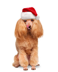 Dog in red Christmas hats.