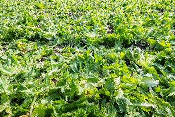 Closeup of the residue on the field after harvesting endive