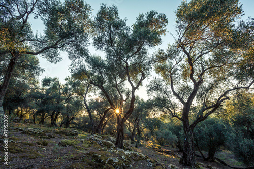 In de dag Olijfboom Olivenhain