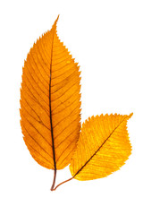 Two dark yellow autumn linden leaves.