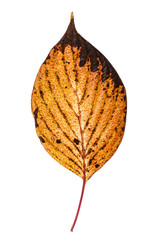Yellow autumn leaf with brown spots -isolated on white.