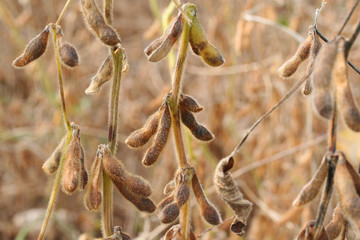 piante di soia_ autunno