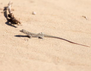 lizard in the nature