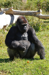 Gorille des plaines mâle adulte ou dos argenté assis