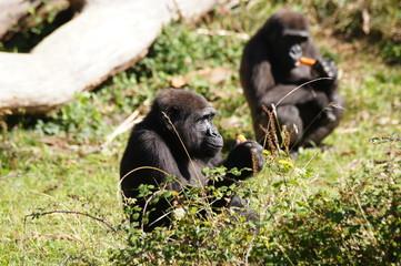 Gorilles des plaines en train de manger