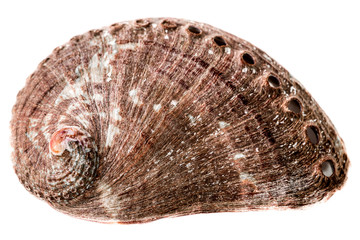 The shell of an abalone