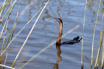 Anhinga, Waterfowl from South Afrika