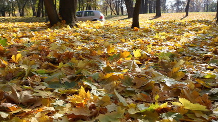Person in jeans goes on the autumn fallen-down maple leaves
