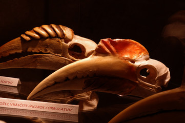 Hornbill skull birds
