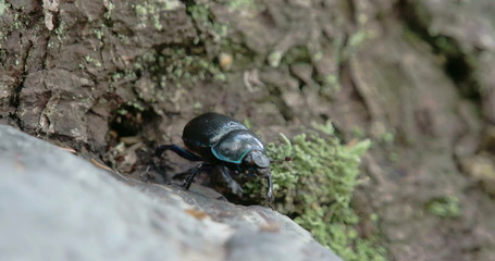 Blue greenish shiny dung beetle trying to curl up and crawl