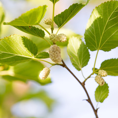 white mulberry tree in nature
