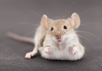 Mouse on a black background