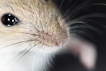 mouse nose. close-up